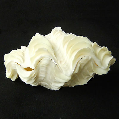 1 Pair Tridacna Squamosa Fluted Giant Scaly Clam 13cm Natural Seashell 348-6