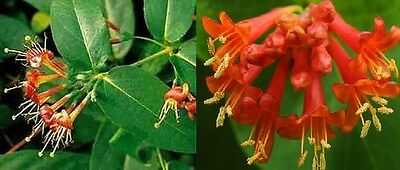 1X 3-4Ft Large Lonicera Henryi Climbing Plant - Evergreen Honeysuckle - 3L