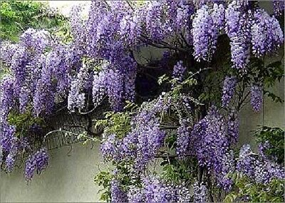1X 3-4Ft Large Wisteria Sinensis Prolific Plant - Fragrant Climber - 3L