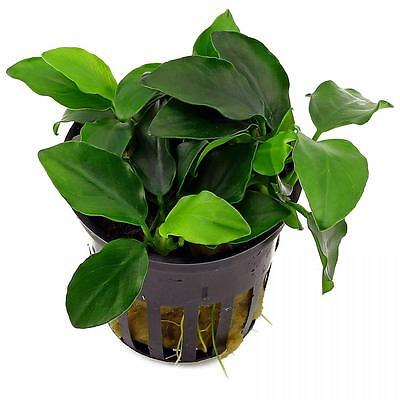 Live Tropical Aquarium Fish Tank Aquatic Plants For Sale - Anubias nana