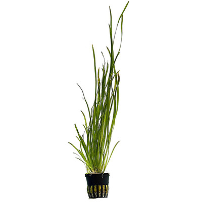Live Tropical Aquarium Fish Tank Aquatic Plants For Sale - Vallisneria spiralis