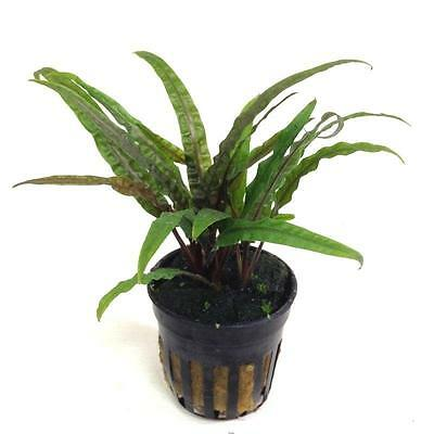 Live Tropical Aquarium Fish Tank Aquatic Plants For Sale - Cryptocoryne balansae