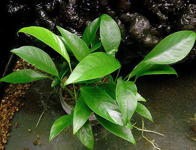 Mother Plant of Anubias congensis - Hardy Aquatic Plant