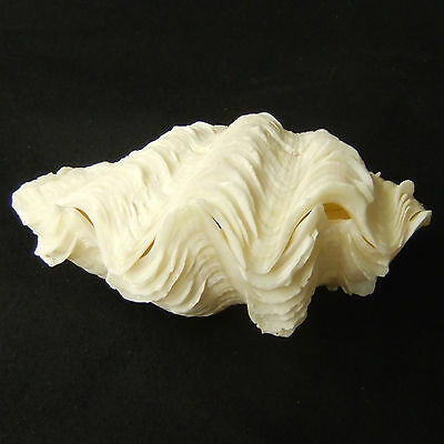 1 Pair Tridacna Squamosa Fluted Giant Scaly Clam 11.5cm Natural Seashell 335-8