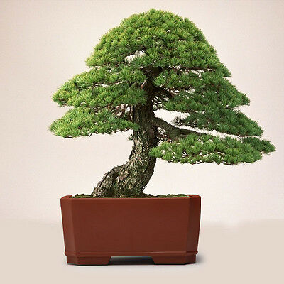 20Pcs Japanese White Pine Pinus Parviflora Tree Bonsai Seeds Plant Decor HK54