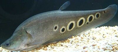 "19"" CLOWN KNIFEFISH  - fiberglass reproduction blank"