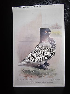 Aids To Amateurs Pigeons No 16 Black Laced Blondinette Postcard  Feathered World