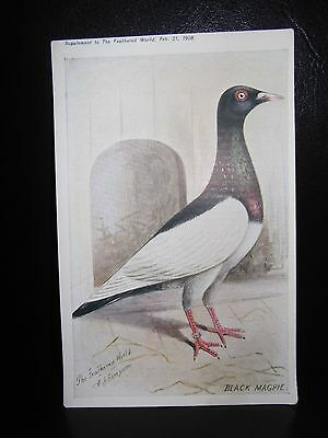 Aids To Amateurs Pigeons No 1 The Magpie Postcard  Feathered World
