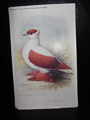 Aids To Amateurs Pigeons No 12 The Swallow Tumbler Postcard  Feathered World
