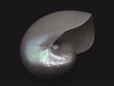 Beautiful Natural Large Nautilus Pompilius Seashell Specimen Pearlized 7""