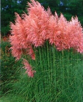 1X Cortaderia Rosea Pink Pampas Grass - Established Plants - P9