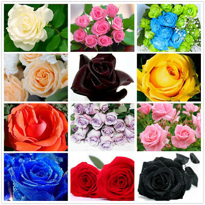 20Pcs Colorful Rainbow Black Rose Valentine Flower Seeds Garden Home Plant Decor
