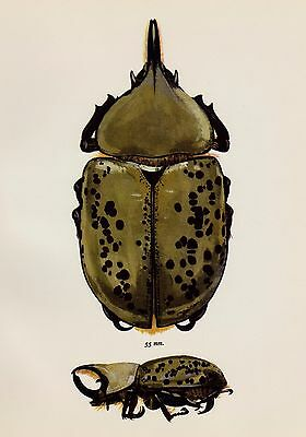 Antique BEETLE Print HORNED Beetle Wall Art Vintage Insect Print 2288