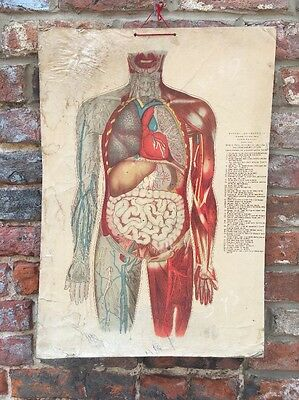 Vintage Human skeletal Muscular School Medical Science Poster Anatomy Teaching B