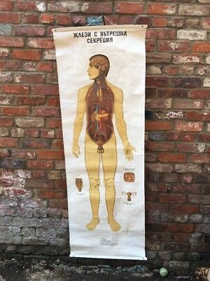 Vintage Anatomy Bulgarian Teaching School Medical Science Poster Biology