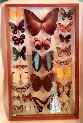 Beautiful FRAMED BUTTERFLY MOTH COLLECTION 24 Specimens Dual Side Viewing