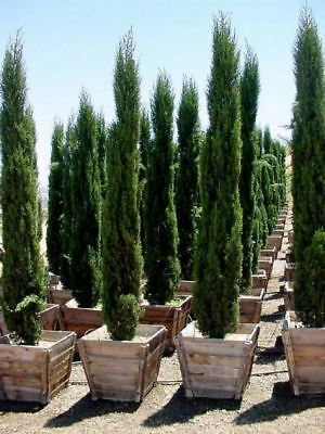 Beautiful Italian Cypress - Fresh Seeds - Ideal Bonsai