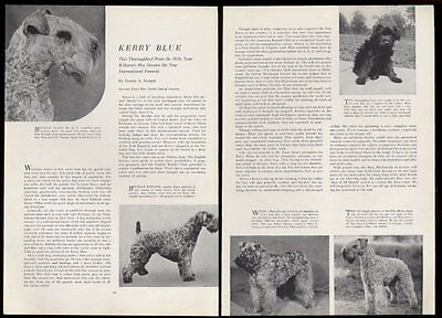 1936 Kerry Blue Terrier champion dog 5 photo vintage print article
