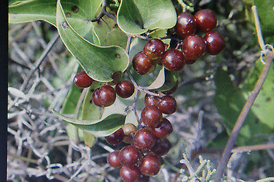 5 Seeds Sarsaparilla, Smilax Aspera #640