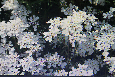 20 Seeds Bitter Candytuft, Iberis Amara #647