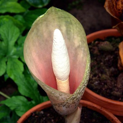 Amorphophallus bulbifer - Voodoo Lily - 10 Corms
