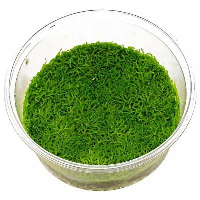 Live Tropical Aquarium Moss Carpet Plants For Sale Riccia fluitans Moss 80cc Cup