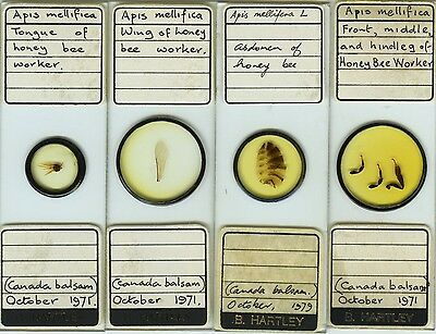 4 Honey Bee Worker Microscope Slides by B. Hartley