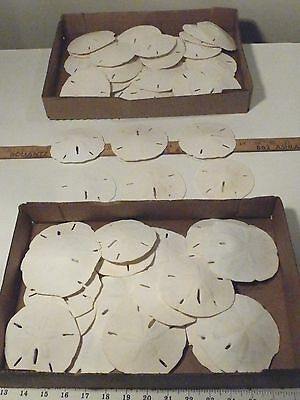"""57 REAL FLORIDA SAND DOLLARS 3 1/2"""" to 4"""" FOR CRAFTS OR WEDDING"""