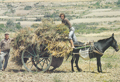 Ak Ungel. Farmers Stacking Hay On Cart Xaghra Gozo Malta  (G3132)