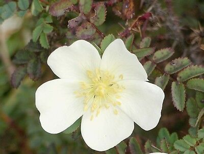 Rosa spinosissima - Scottish Rose - 20 Fresh Seeds