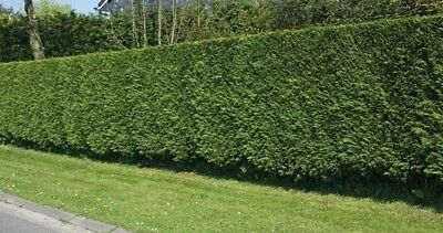 10X Large 4-5Ft Green Leylandii Trees - Evergreen Hedging Plants - 2/3L Potted