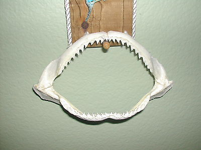 "Our Best!  Fla.grade.#1 Killer! Shark Jaws 8"" L X 6 In.w X 4"" Tall Open Mouth"