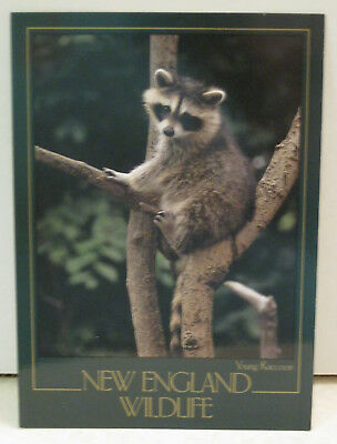 Raccoon Sits High in the Trees in Vermont New England Wildlife Postcard