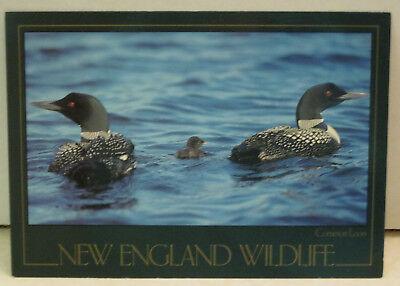 New England Wildlife Common Loon in Water Maine Postcard