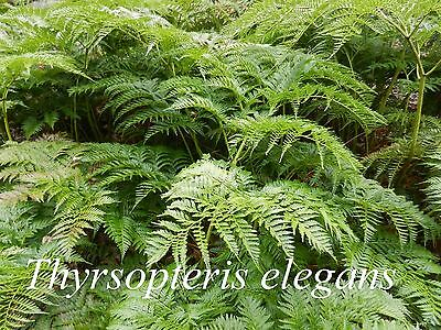 Thyrsopteris elegans | large bare root division