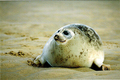 LARGHA SEAL (SPOTTED SEAL) Modern Russian postcard