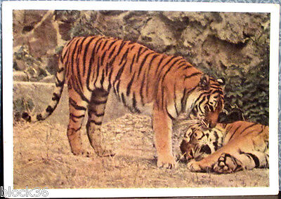 1963 Soviet Russian postcard SIBERIAN TIGERS in Moscow Zoo