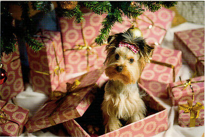 SURPRISE! YORKIE CAME AS A GIFT Modern Russian postcard