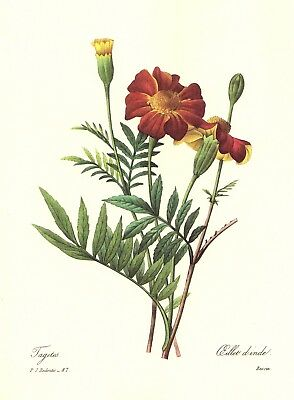 VINTAGE BOTANICAL FLOWER Print Redoute Sword Lily Gallery Wall Art