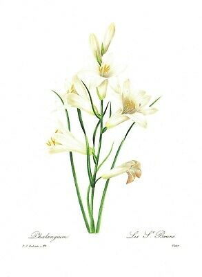 Vintage Redoute White Lily Flower Botanical Print French Cottage Decor pjr #2474