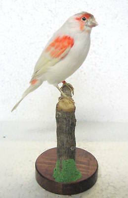 Taxidermy  Stuffing nice Red Mosaic Canary with base - Real Bird Parrot