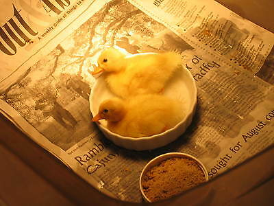 10 call duck eggs,hatching,incubator eggs,  dwarf size ducks  FREE SHIPPING,