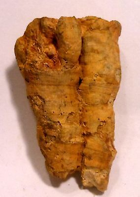 """FOSSIL PLANT OR CORAL FROM PUGET SOUND, WASHINGTON STATE 26.68GM 2x 1.25 x 3/4"""""""