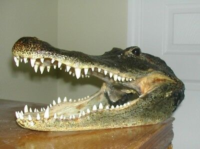 Our Finest! Genuine Killer 14 Inch Florida Gator Head W/ 9  Inch Mouth Opening