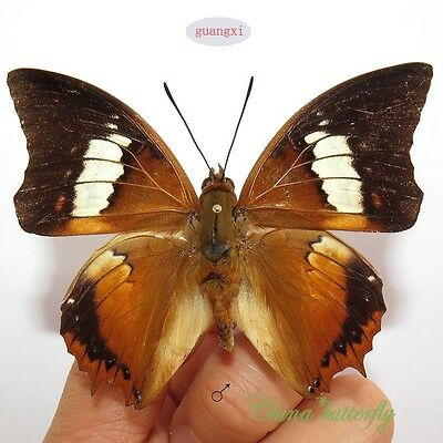 unmounted butterfly Charaxes bernardus  ARTWORK MATERIAL   A1-