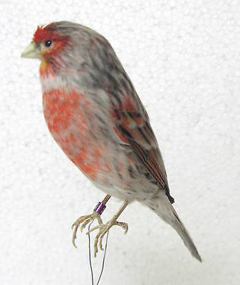 Taxidermy  Stuffing Agata Red mosaic Canary only wire - Real Bird Parrot