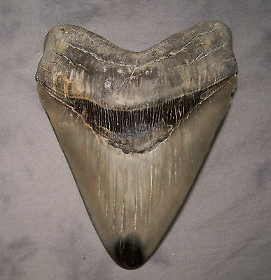"""5 5/8 """" ~ Megalodon ~ Shark Tooth Teeth Jaw Diamond Polished Fossil No Repair"""