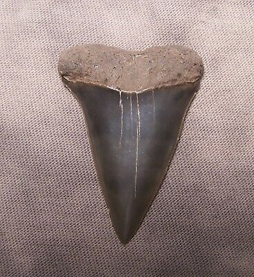 "1 3/4 "" Mako  Megalodon Shark Tooth Teeth Extinct Jaw Fossil Megladon  Scuba"