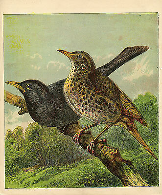 Blackbird & Thrush Birds Antique Lithograph 1886 Harrison Weir