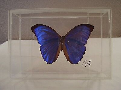 Real BUTTERFLY Specimen BLUE PERUVIAN MORPHO DIDIUS Mounted DISPLAY Stand PARKE